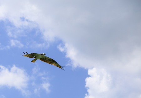 riparian: An osprey flying with widespread wings seen from below in Fort Myers Beach.