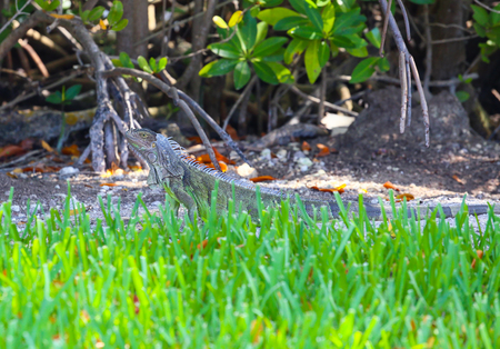 mangroves: A green iguana in Key West, Florida, USA with green grass in front and mangroves in the back.