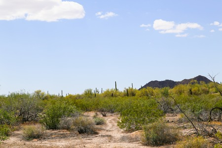 aridness: Saguaro and shrubs growing in the Sonoran Desert, Arizona, USA. In the back a mountain and blue sky.
