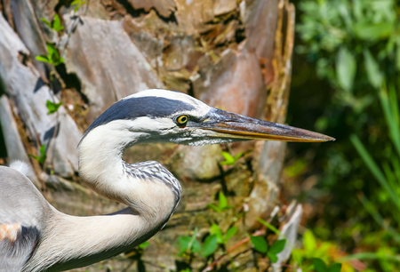 cape canaveral: Head and neck of a Great Blue Heron.