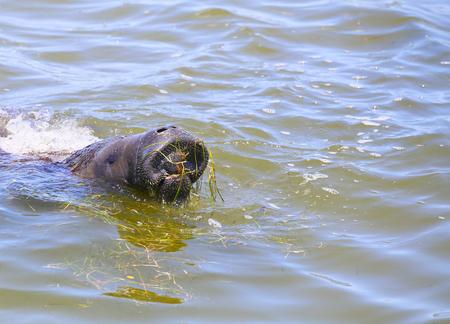 フロリダ州のケープ ・ カナベラルに近い食べ物を参照しながら水面まで来てマナティー。 写真素材
