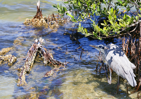 A Great Blue Heron standing in the water on one leg an scratching itself at the head with the other one. Stock Photo