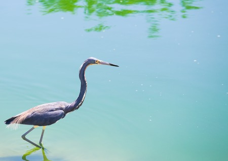 wading: A tricolored heron wading through the water in Florida. Stock Photo
