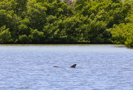 blowhole: Dolphin swimming in Estero Bay right beneath water surface in Fort Myers Beach.