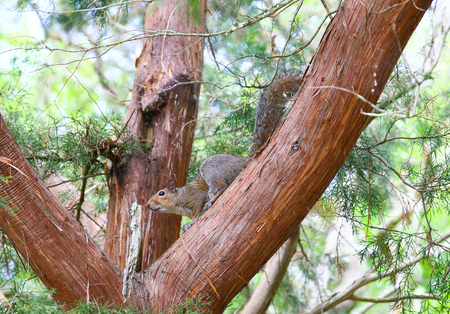 A cheeky looking squirrel on a tree looking at the spectator on Jekyll Island.