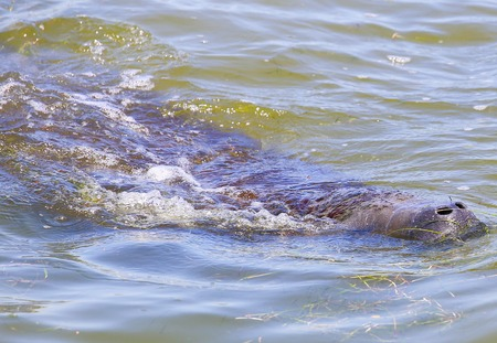 A manatee swimming and coming up to the water surface to breathe near Cape Canaveral in Florida.