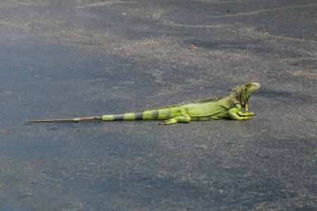 Green iguana soaking up the sun on a parking lot in Key West, Florida, USA.
