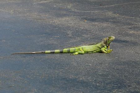 llave de sol: iguana verde tomando el sol en una playa de estacionamiento en Key West, Florida, EE.UU..