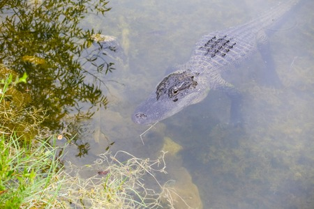 lurking: American alligator lurking on the riverbanks in the Everglades. Stock Photo