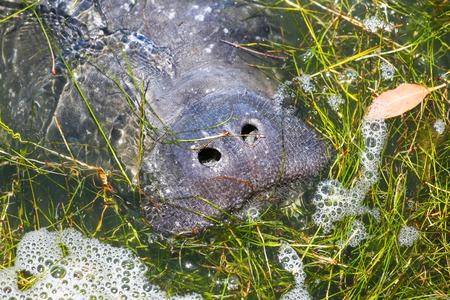 マナティーは、息をしてフロリダ州のケープ ・ カナベラルに近い食品を参照する水面まで来る。