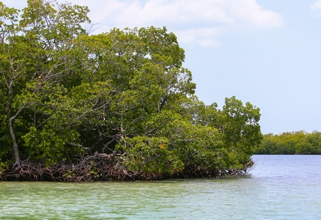 brackish water: Mangroves in Estero Bay near Fort Myers Beach. Stock Photo