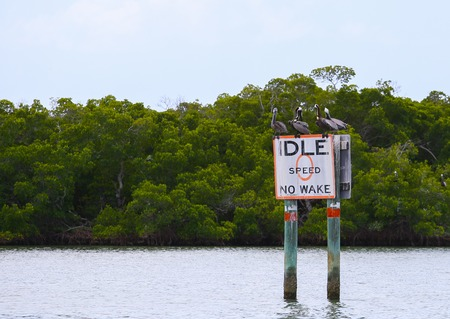 myers: A group of Brown pelicans sitting and resting on a speed limit-sign in the waters of Estero in Fort Myers Beach.
