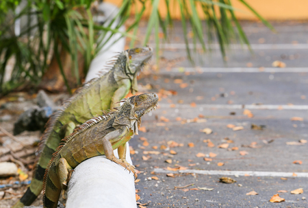 Two iguanas sitting on a curb of a parking lot in the Florida Keys.