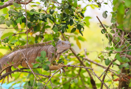 Iguana sitting in the branches of a tree in the Florida Keys.