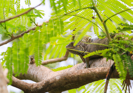 Iguana sitting on a thick branch of a tree in the Florida Keys.