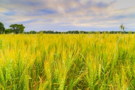 Green ears of a cornfield near Mulvane in Kansas.