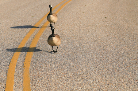 Pair of Canada geese walking on a street. Stock Photo