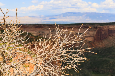 Shrub with bursting buds in the Colorado National Monument with a backdrop of red cliffs and the Grand Mesa in the distance. Stock Photo