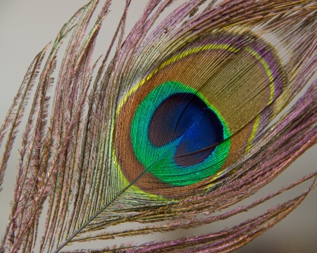 Detail of peacock feather eye  Stock Photo