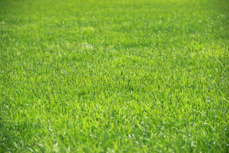 Grass background closeup Stock Photo
