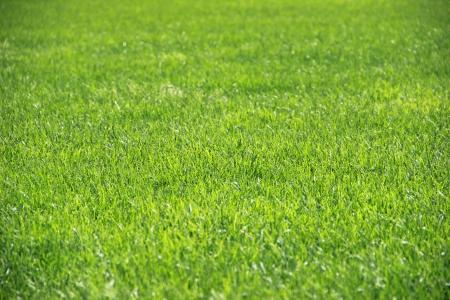 Grass background closeup Stock Photo
