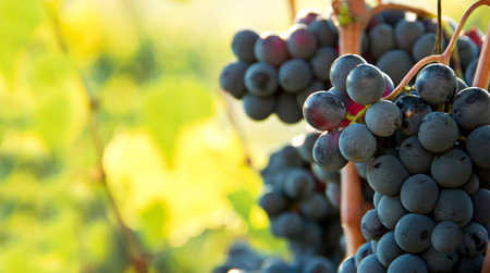 Closeup on bunches of black grapes in vineyards, Tuscany, Italy Stock Photo