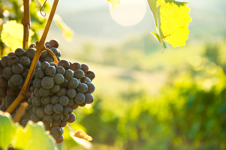 Grapes on the vine in Tuscany, Italy Stock Photo