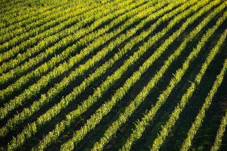 Vineyard landscape in Tuscany, Italy