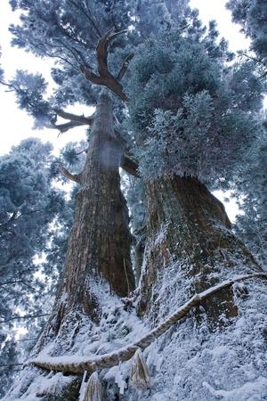 the rime on trees Cedar