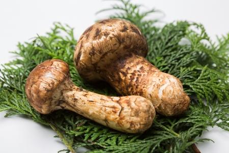 Matsutake mushrooms on the White background Stock Photo - 15843297