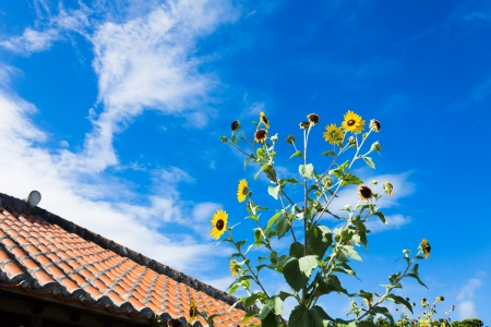 Red roof and sunflower of the southern country Stock Photo