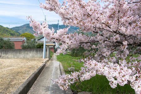 Sakura and cherry blossom in Japan Banque d'images
