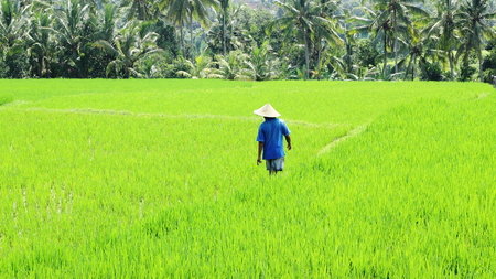 ricefield: a farmer walking among the ricefield Stock Photo