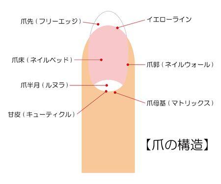 Nail Structure Illustration Vector Illustration
