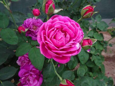 Rose photos of roseroses
