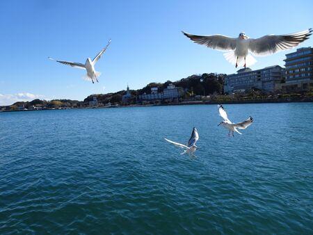 Seagulls catching snacks