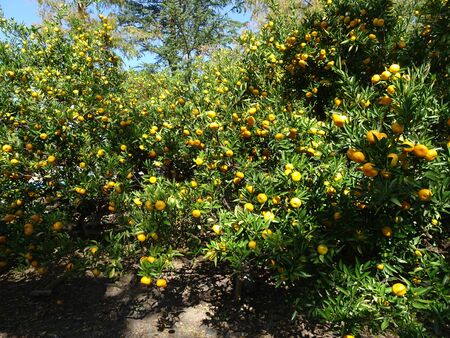 Mandarin orange trees