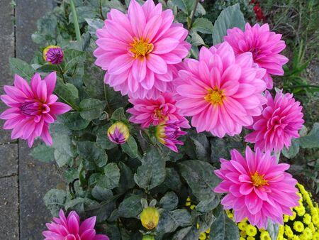 Dahlia Flowers Pink