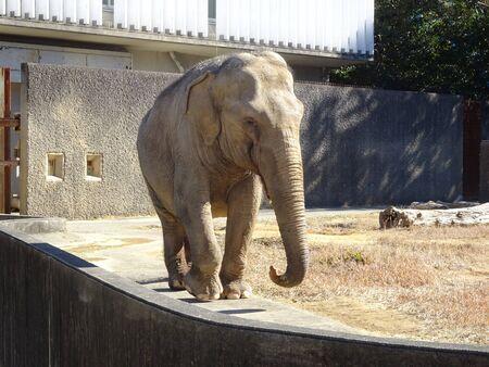 Elephant Asian elephant