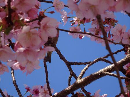 Cherry Tree Uguisu Photo Stock fotó - 140129413