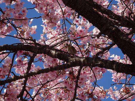 Cherry Tree Uguisu Photo