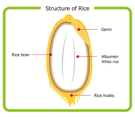 English version of rice structure diagram chaff brown rice germ rice white rice bran layer cross section illustration simple vector English version. Rice structure diagram. rice husk. brown rice. germ rice. white rice. bran layer. cross-section view. illustration. simple. vector.  イラスト・ベクター素材