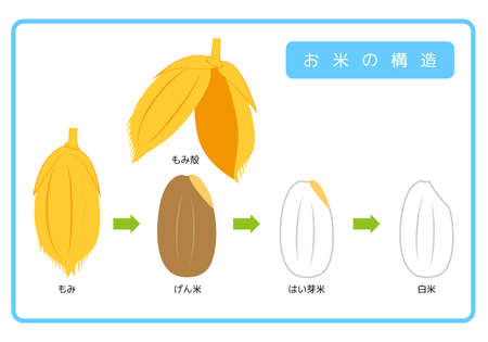 Japanese version of rice structure diagram chaff brown rice germ rice white rice bran layer cross section illustration simple vector Japanese version. Rice structure diagram. rice husk. brown rice. germ rice. white rice. bran layer. cross-section view. illustration. simple. vector.