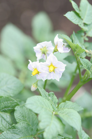 Potato flower photo