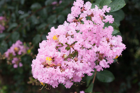 dews: Flower of Lagerstroemia indica with dews