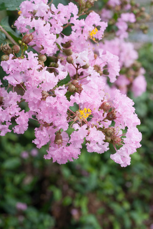 indica: Flower of Lagerstroemia indica with dews
