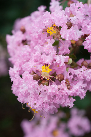 myrtle green: Flower of Lagerstroemia indica with dews