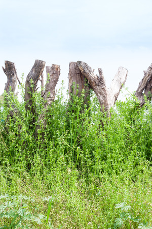 Wooden palisade tangled by weeds