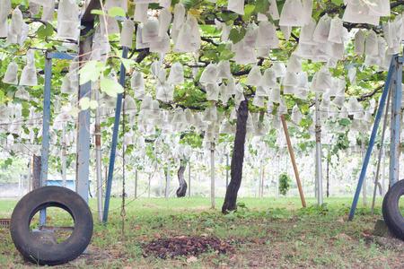 grape vines: Harvesting grapes Stock Photo