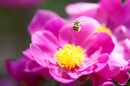 paeonia: Bee hovering on pink paeonia lactiflora. Stock Photo